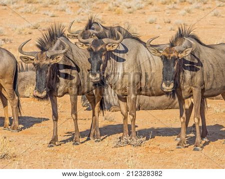 Alert Common or Blue Wildebeest in the arid Kgalagadi Transfrontier Park straddling South Africa and Botswana. poster