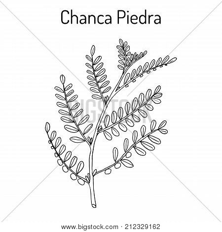 Chanca piedra Phyllantus amarus , medicinal plant. Hand drawn botanical vector illustration