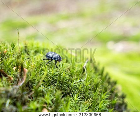 picture of a dung beetle in mossy ambiance