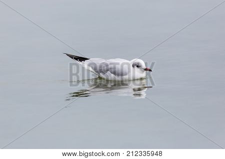 One Natural Black-headed Gull (larus Ridibundus) On Water Surface
