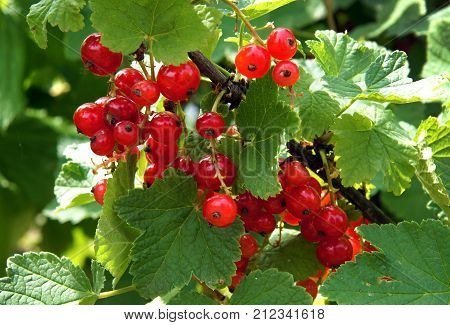 Redcurrants (Ribes rubum) on the bush branch in the summer