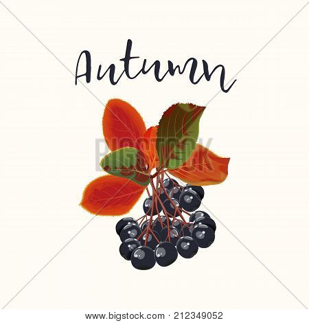 Colorful branch or garland of autumn black ashberry with leaves and berries isolated on white background. Vector realistic illustration.Card for thanksgiving