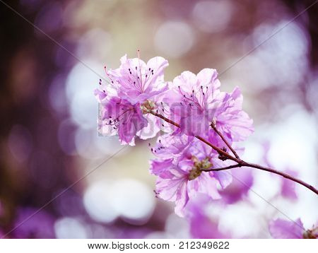 Rhododendron dauricum. Rhododendron branch. Gentle pink rhododendron blossoms in the garden. Beautiful asian spring flower. Romantic background.