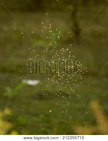 midges in the sun in the nature .