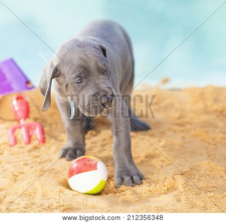Great Dane puppy that is keeping an eye on its tiny beach ball