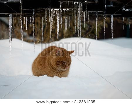 Beautiful icicles on winter background. Cold red cat in a snowdrift