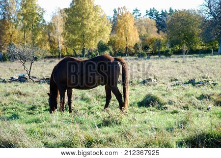 Grazing horse in a colorful landscape by fall season at the swedish countryside