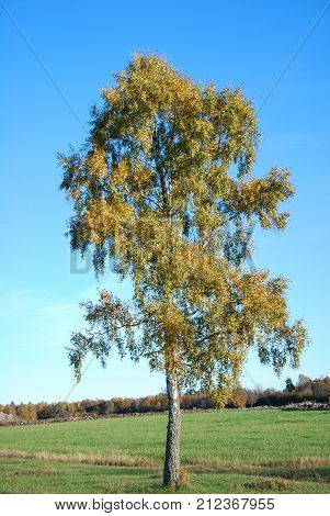 Lone golden birch tree in a green field by fall season