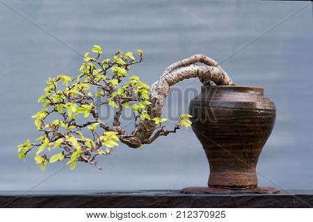 Twisted bonsai tree in a pot against a gray background