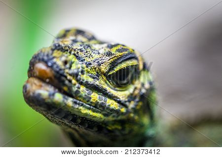 Sailfin Lizard looking straight into the camera - extreme closeup with focus on foreground poster