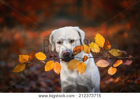 portrait of young cute labrador retriever dog puppy during autumn with colored leaves