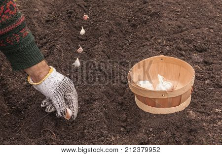 Planting Winter Garlic On A Bed In Autumn