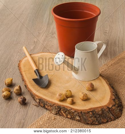 Bulbs hyacinthoides garden shovel watering can on a wooden background