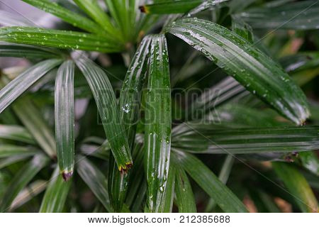 rhapis excelsa arecaceae plant leaf from south east asia tropical