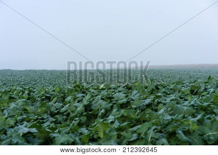 green field with salat and herbs fog cloud autumn view