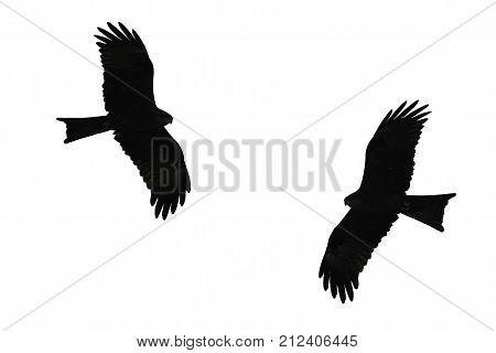 Birds of prey silhouette , Western Marsh Harrier