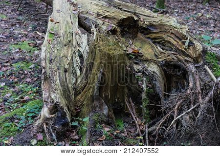 Storm damage: Broken tree in woods, autumn forest europe