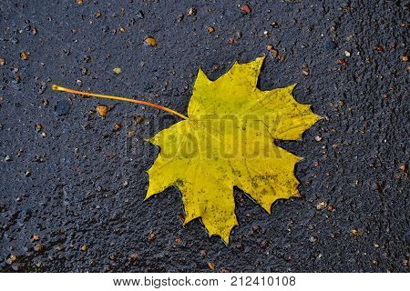 Maple leaves lie in a puddle on the asphalt. Autumn rain in the city. View from above