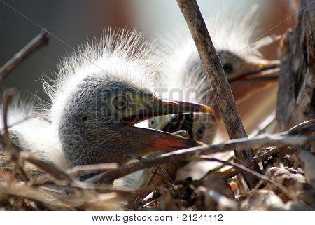 Egret baby birds