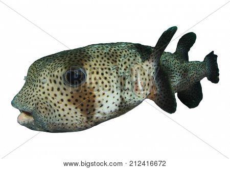 Porcupinefish. Puffer fish isolated on white background
