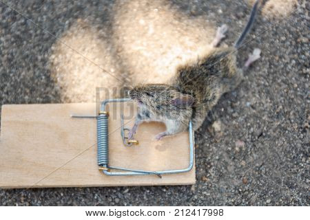 Dead mouse caught in snap trap outdoors