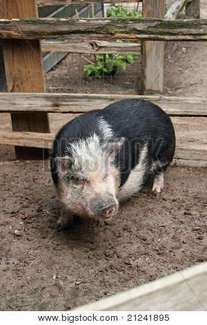 Here Piggy!