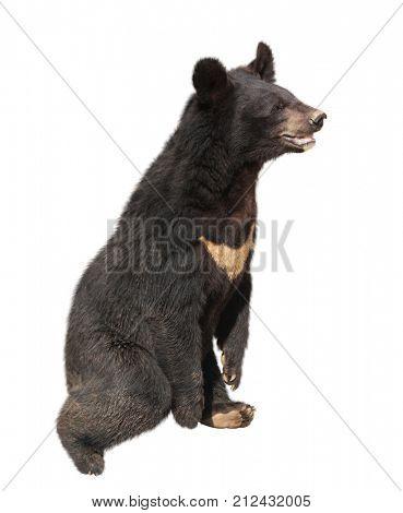 Asiatic black bear (himalayan bear, ursus thibetanus). Isolated on white background