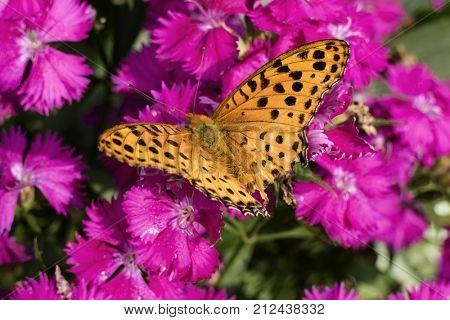 Orange Comma butterfly with black spots on pink flowers