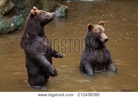 Kamchatka brown bear (Ursus arctos beringianus), also known as the Far Eastern brown bear standing on its hind legs.