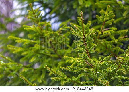 Evergreen prickly branches of a fur-tree or pine on nature background. Green spruce branches with the fallen first snow.