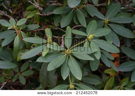 plant leaves of rhododendron williamsianum ericaceae mountain rose from szechuan china
