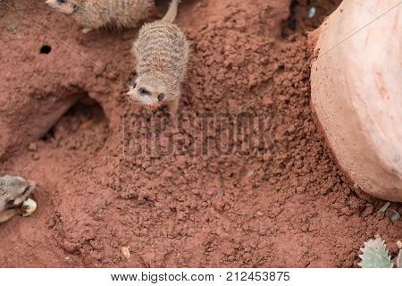 mongoose on mud with holes in outdoor