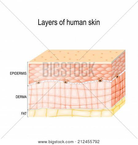 Layers Of Skin. Epidermis (horny layer and granular layer) Dermis (connective tissue) and Subcutaneous fat (adipose tissue). Healthy human skin. Vector diagram for medical use.