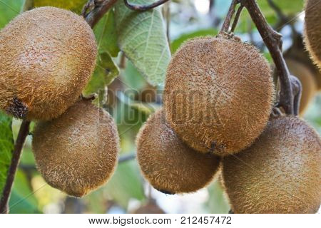 Kiwi fruits growing on the branch on autumn