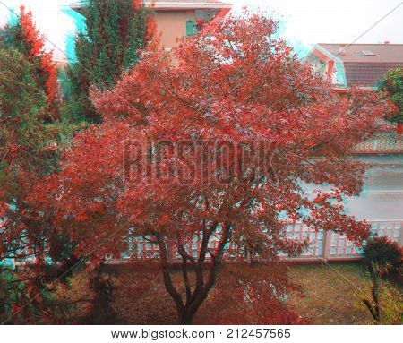 anaglyph 3D stereoscopic view of maple acer (Acer Rubrum) aka swamp maple water maple or soft maple tree (requires red cyan glasses)