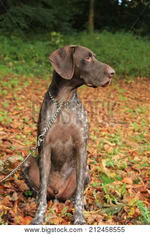 German Shorthaired Pointer 3 year old male
