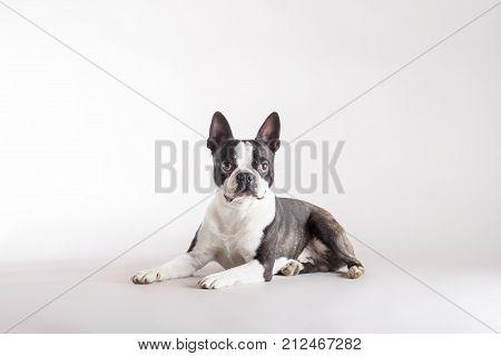 Alert Boston Terrier Lying Watching Intently