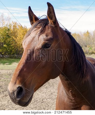 Canadian Rodeo Barrel Racing Horse on sunny Canadian autumn morning