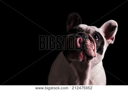 greedy and hungry french bulldog licking its nose on black background
