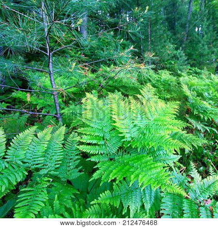 Ferns grow in the understory of a vivid green northwoods forest in Wisconsin