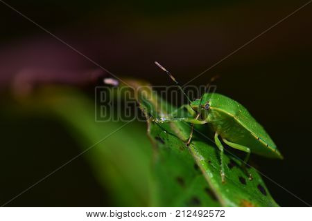 The green soldier bug is another name for the green stink bug.