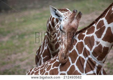 Reticulated giraffe (Giraffa camelopardalis reticulata), also known as the Somali giraffe.