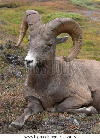 Restful Bighorn Sheep