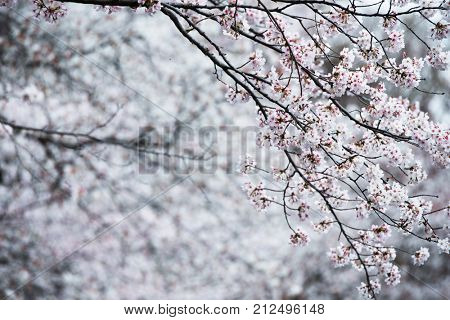Cherry blossom blooms in natural sincere color.