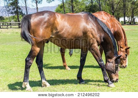 Beautiful brown horses eating grass in a sunny green field