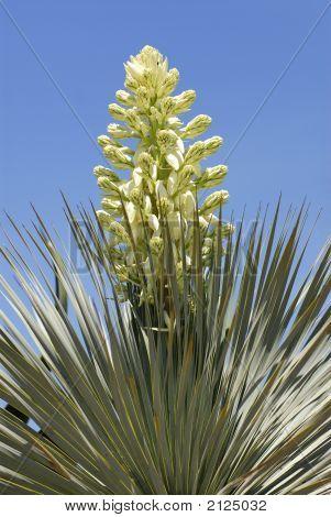 Flower Of Cactus