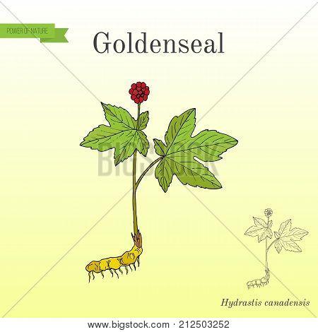 Goldenseal Hydrastis canadensis , medicinal plant. Hand drawn botanical vector illustration