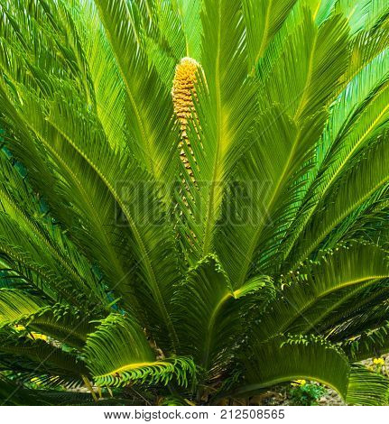 Cycas tree. green plant of Cycas Palm