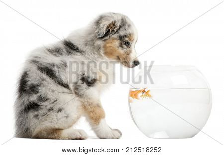 puppy looking at Goldfish, Carassius Auratus, swimming in fish bowl in front of white background