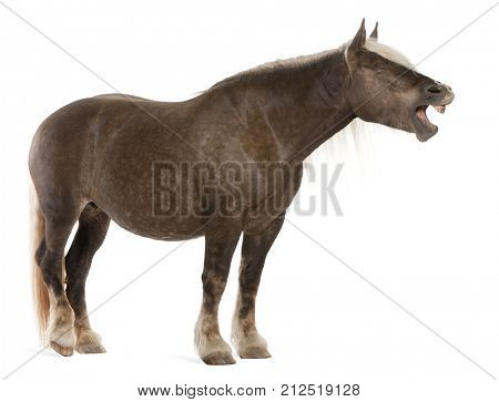Comtois horse, a draft horse, Equus caballus, 10 years old, standing in front of white background with mouth open